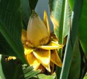 banana tree - photo #32
