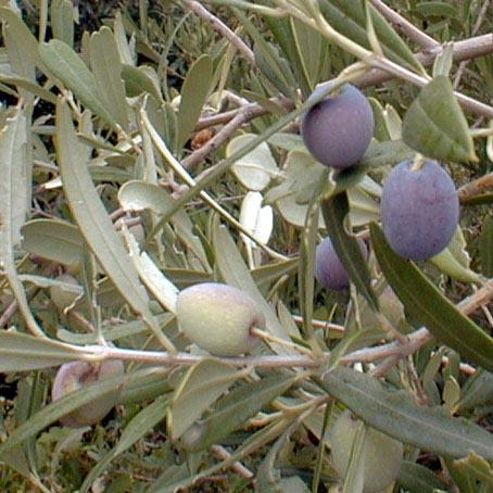 Arbequina olive tree marthas secrets for Growing olive trees indoors