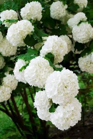 Chinese Snowball Bush Viburnum Plant Medium Marthas Secrets