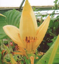 Musa Siam Yellow Banana Tree