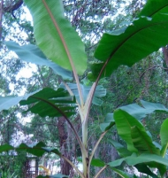 Musa Manzano Apple Banana Tree Plant
