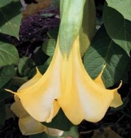 Lemon Twist Brugmansia Angel Trumpet
