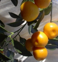 Calamondin Miniature Orange Citrus Tree