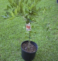 Sunburst Tangerine Mandarin Orange Citrus Tree