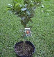 Washington Navel Orange Citrus Tree