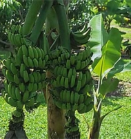 Double Dwarf Musa Mahoi Banana Tree