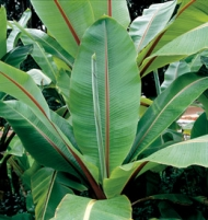 Ensete Ventricosum Ornamental Banana Tree Plant