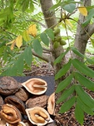Japanese Heartnut Tree