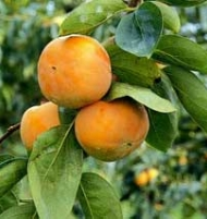 Imoto Japanese Persimmon Tree