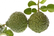 Kaffir Lime  Asian Citrus Fruit Tree 5 Gallon