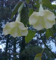 Lemon Yellow Brugmansia Angel Trumpet