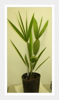 Mediterranean European Fan Palm LIVE Plant Tree 1 gallon Cold Hardy Tropical