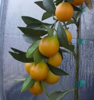 Meiwa Kumquat Citrus Tree