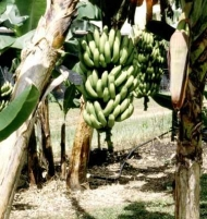 Musa Gran Nain Banana Tree 2 Gallon