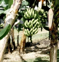 Musa Gran Nain Banana Tree 1 Gallon