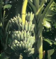 Musa Ice Cream Banana Tree 3 gallon