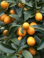 Nagami Kumquat  Citrus Fruit  Tree