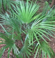 Needle Palm Tree Cold Hardy Tropical Worlds Hardiest Palm 1 Gallon