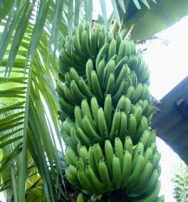 Musa Giant Plantain Banana Tree Plant