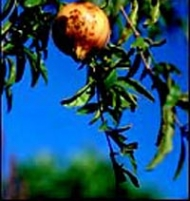 Pomegranate Wonderful Fruit Tree Small