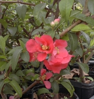 Quince Red Flowering Chaenomeles japonica