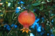 Russian Giant Pomegranate Fruit Tree Medium