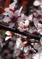 Thundercloud Purple Leaf Plum Tree