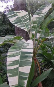 Ae Ae Banana Tree