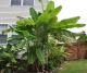Musa Basjoo Banana Tree Pair