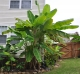 Musa Basjoo Banana Tree 2 Gallon