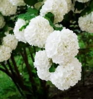 Chinese Snowball Bush LARGE
