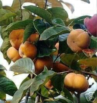 Japanese Persimmon Trees 4 Tree Combo