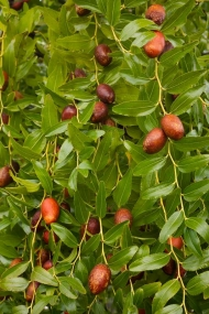 Jujube Tree Lang 3 Gallon