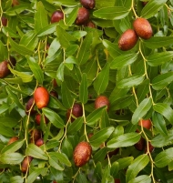 Jujube Tree Li  3 Gallon