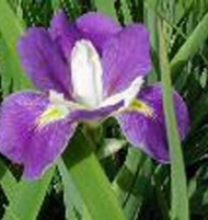 Louisianna Iris Blue and Violet Mixed